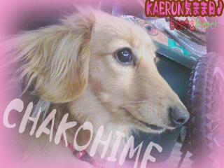 チャコ姫 横顔 2008 12 30 のコピー.jpg