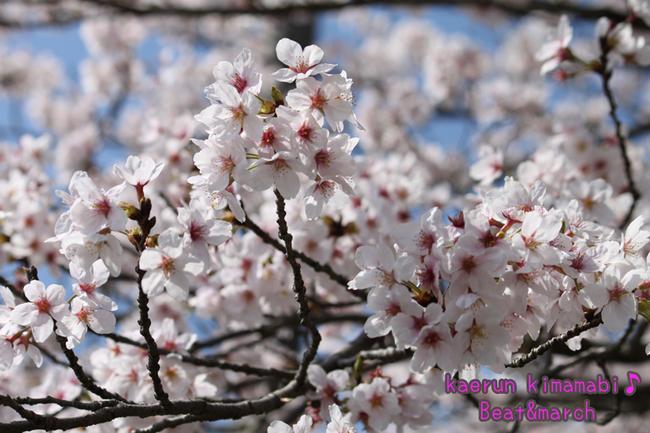田舎の桜.jpg