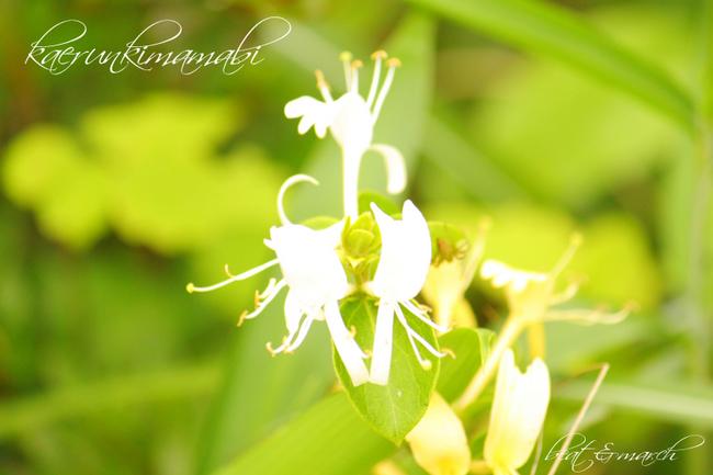 白い小さなお花。.jpg