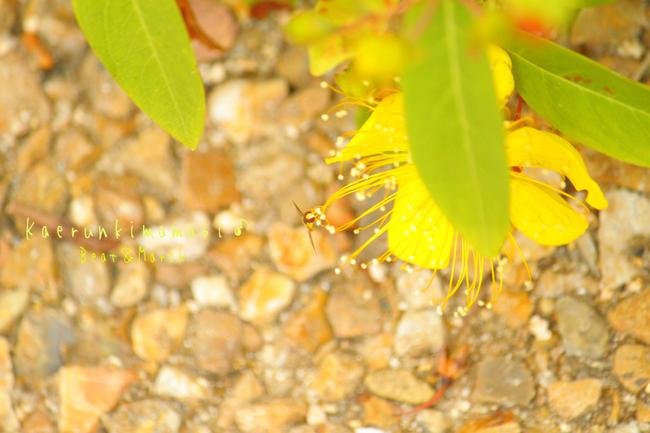黄色いお花と小さな蜂?.jpg